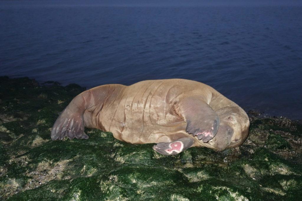 Noch leicht verschlafen wischte sich die Walrossdame über die Augen. Einen Fluchtreflex zeigte sie interessanterweise nicht. Foto: W. Schulte