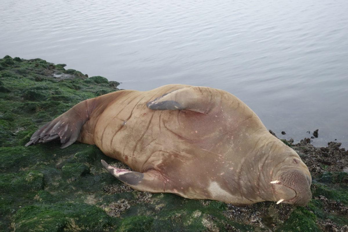 Das Walross auf Buhne D, Baltrum. BLINKER-Autor Dr. Wolfgang Schulte fand das Tier, als er am frühen Morgen zum Wolfsbarschangeln unterwegs war. Foto: W. Schulte