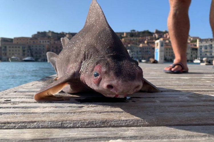 Die Gefleckte Meersau ist ein kurioser und vor allem seltener Anblick. Hafenarbeiter auf der Insel Elba fanden ein totes Exemplar. Foto: Luca Bellosi / Facebook