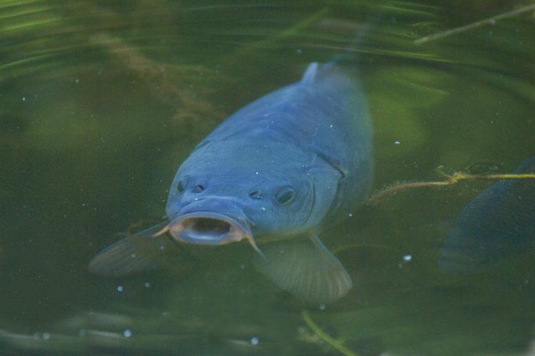 In Michigan kam es zu einem Ausbruch von Koi-Herpes, dem über 300 Fische zum Opfer fielen. Zu den Symptomen gehört unter anderem das Schnappen nach Sauerstoff an der Oberfläche. (Symbolbild) Foto: BLINKER / E. Hartwich
