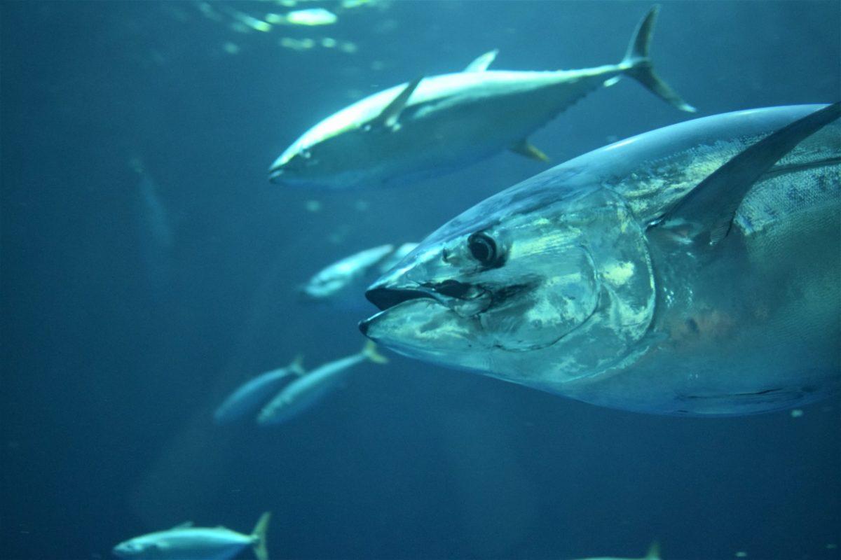 Thunfische gehören zu den wichtigsten Speisefischen weltweit. Laut Angaben des IUCN erholen sich die Bestände. Foto: kate / Unsplash