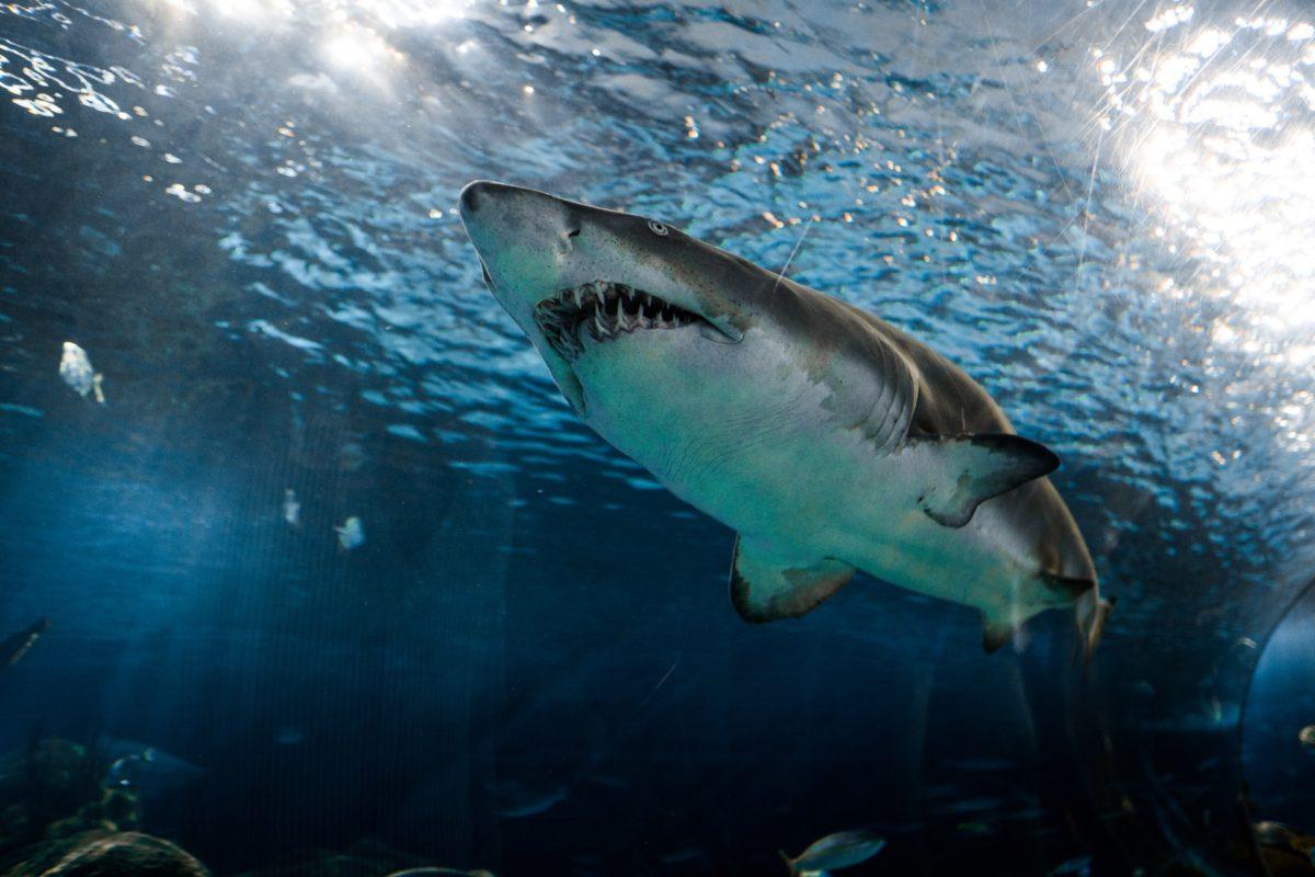 Ein Hai-Angriff kann für Menschen tödlich ausgehen. (Symbolfoto) Foto: Marcelo Cidrack / Unsplash