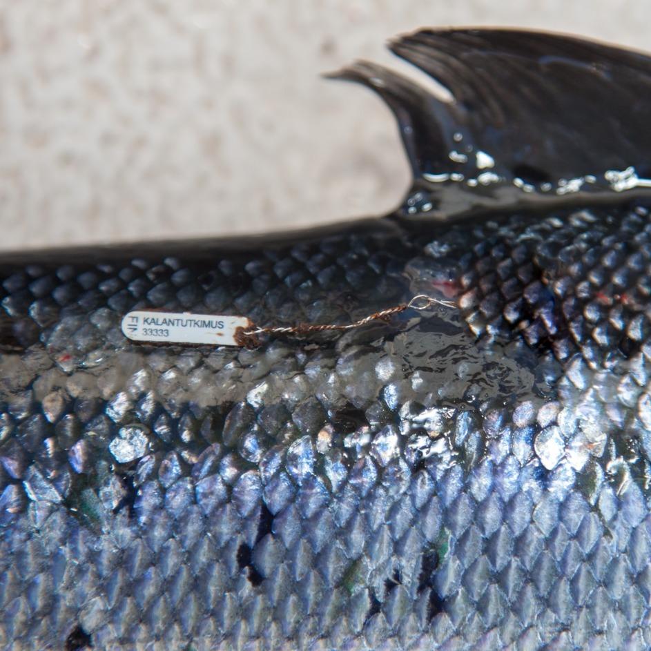 Die Lachse in der Ostsee legen in ihrem Leben weite Wanderungen zurück und die Bestände einzelner Flussgebietseinheiten vermischen sich im Meer. Dieser markierte Lachs aus Finnland wurde im Frühjahr vor Rügen gefangen. Foto: DAFV, Olaf Lindner