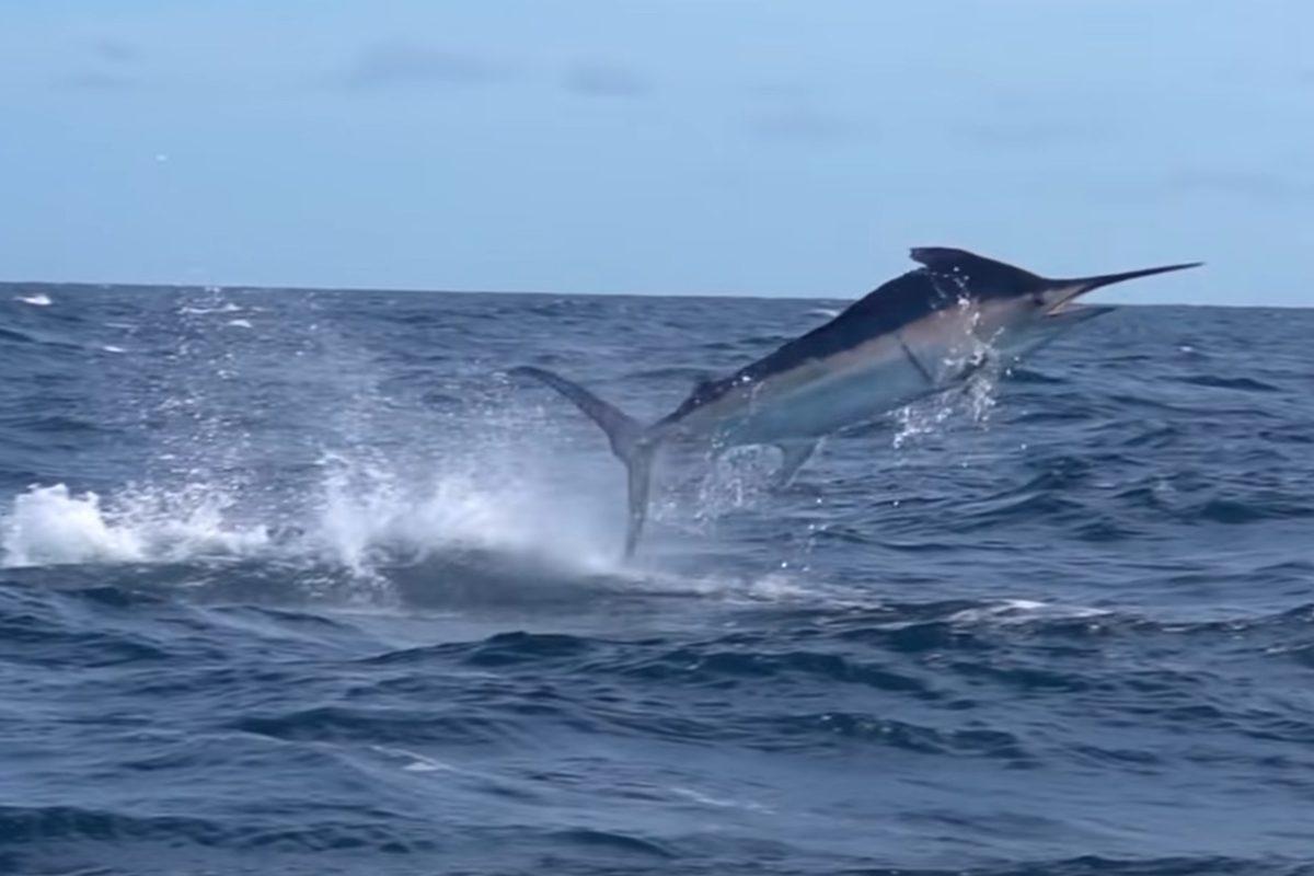 Achterbahn vor Panama: Ein Marlin lieferte einem Kayakangler einen Drill, den er niemals vergessen wird. Foto: Field Trips with Robert Field / YouTube (Screenshot)