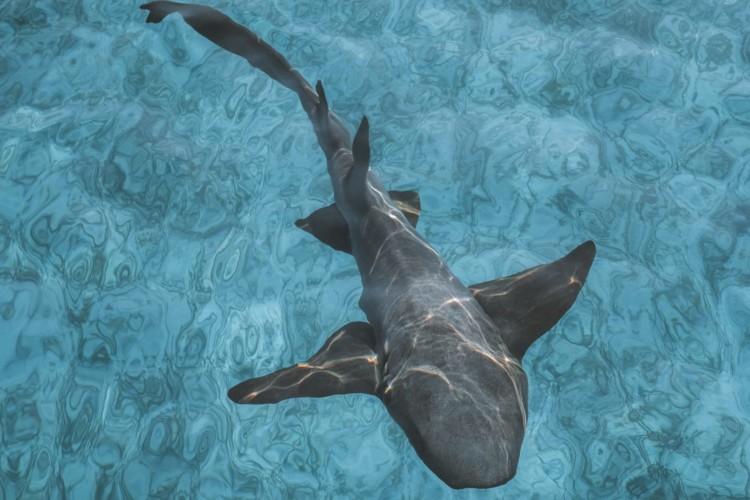 Ein Hai schwimmt durch das Wasser.