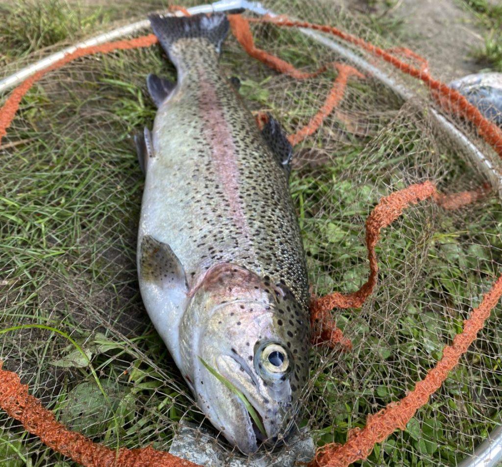 Wie schwer ist diese Forelle? Wer dem Gewicht am nächsten kommt, hat die Chance auf einen tollen Preis von MB Fishing! Foto: F. Schlichting