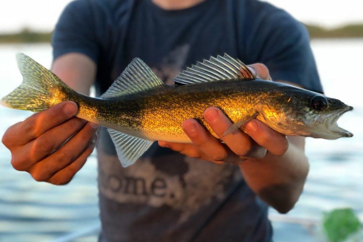 Glasaugenbarsche, Verwandte des Zanders, sind in Nordamerika beliebte Zielfische. Foto: Seth Schulte / Unsplash
