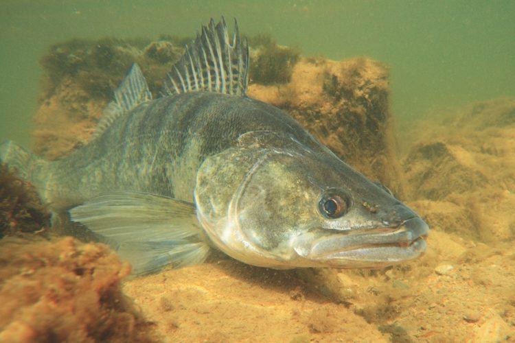 Der Zander gilt in England als invasive Art und muss entnommen werden. Doch nicht alle Angler stehen dem positiv gegenüber. Foto: O. Portrat