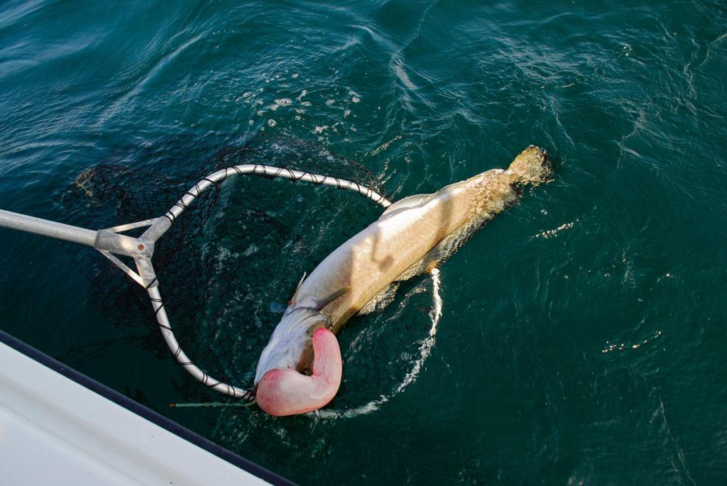 Dieser Leng ist wahrscheinlich aus mehr als 100 m Tiefe an die Wasseroberfläche gepumpt worden und ist verangelt. Die Schwimmblase ist dadurch fast vollständig aus dem Maul herausgetreten.