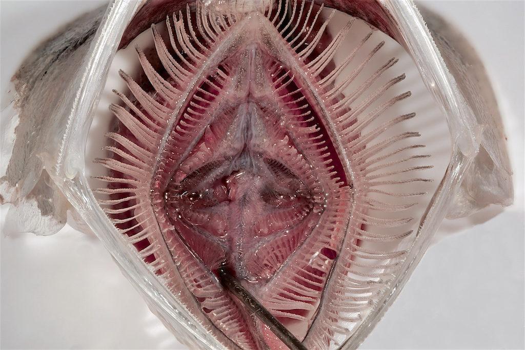 Wie viele Fische ernährt sich die Sardelle hauptsächlich von Kleinstorganismen wie Plankton. Ihr Maul ist deswegen ein perfekter Filter um das Plankton aus dem Wasser zu filtern – und ein ideales Vorbild für Technik in der Waschmaschine. Foto: Leandra Hamann / Uni Bonn