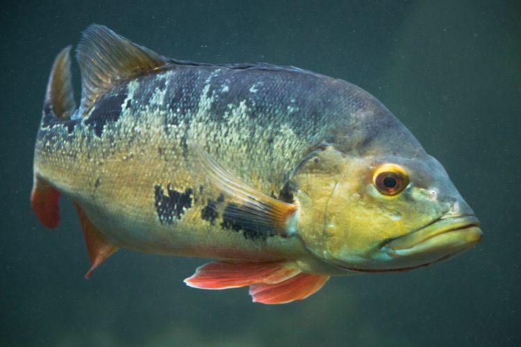 Der Peacock Bass, auch Cichla, ist in Florida zwar nicht heimisch, aber ein beliebter Sportfisch. (Symbolbild) Foto: Petr Kratochvil / Public Domain Pictures