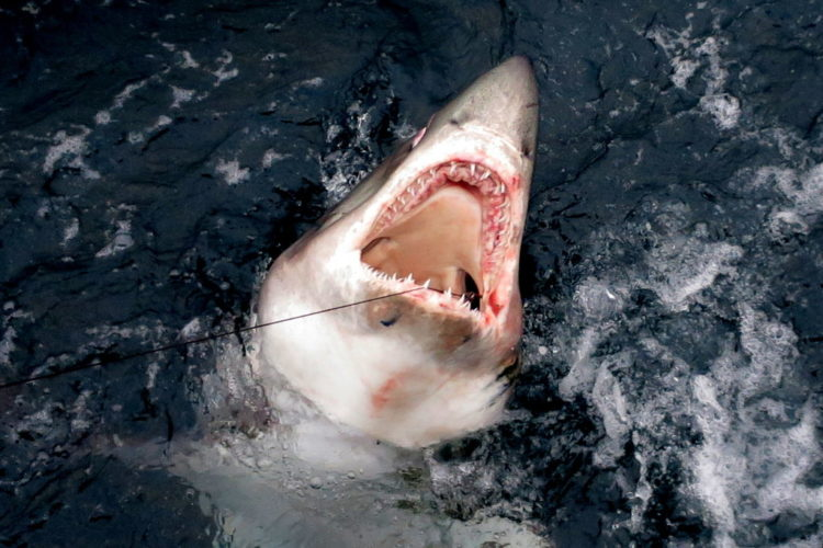 Der Heringshai ist ein naher Verwandter des Weißen Hais. Er wird über drei Meter lang und kann Gewichte von mehr als 200 Kilo erreichen. Foto: Des Colhoun