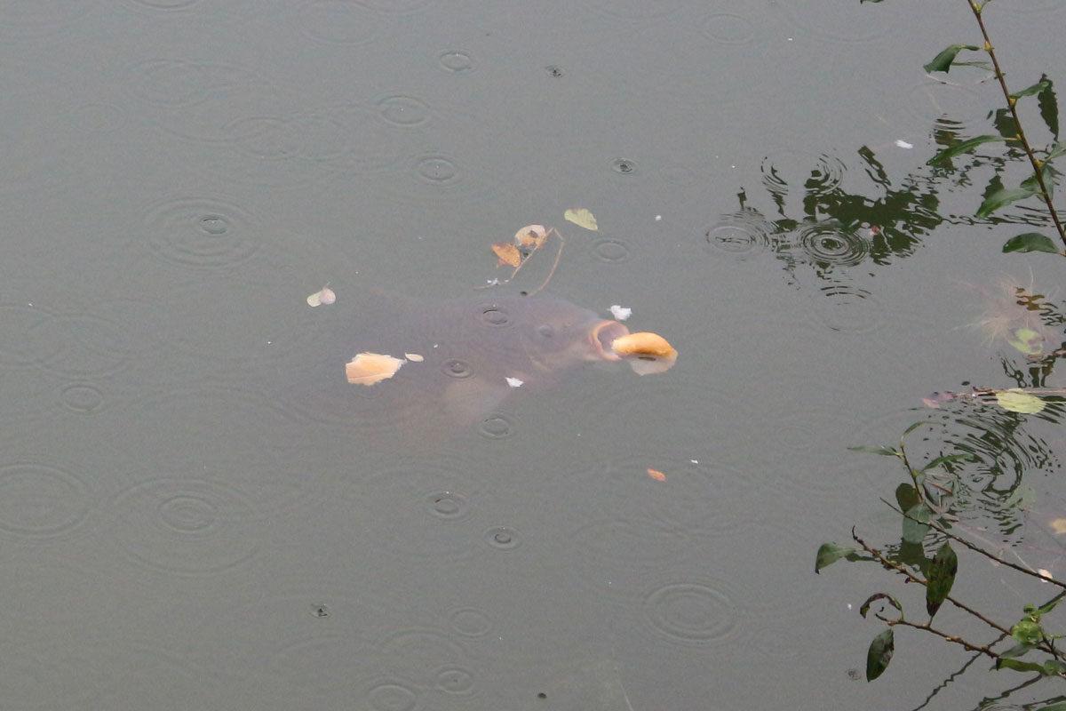 Von diesen Karpfen, die fast senkrecht im Wasser stehen und ihre Lippen öffnen, um sich mit einem satten Schmatzen die Brötchenhälften einzusaugen, sah André am Wochenende noch einige.