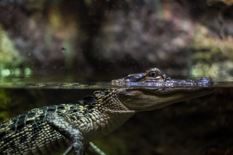 Alligatoren und Krokodile ernähren sich unter anderem auch von Fisch – egal, ob er bereits am Haken hängt oder nicht. (Symbolfoto) Foto: Lance Anderson / Unsplash