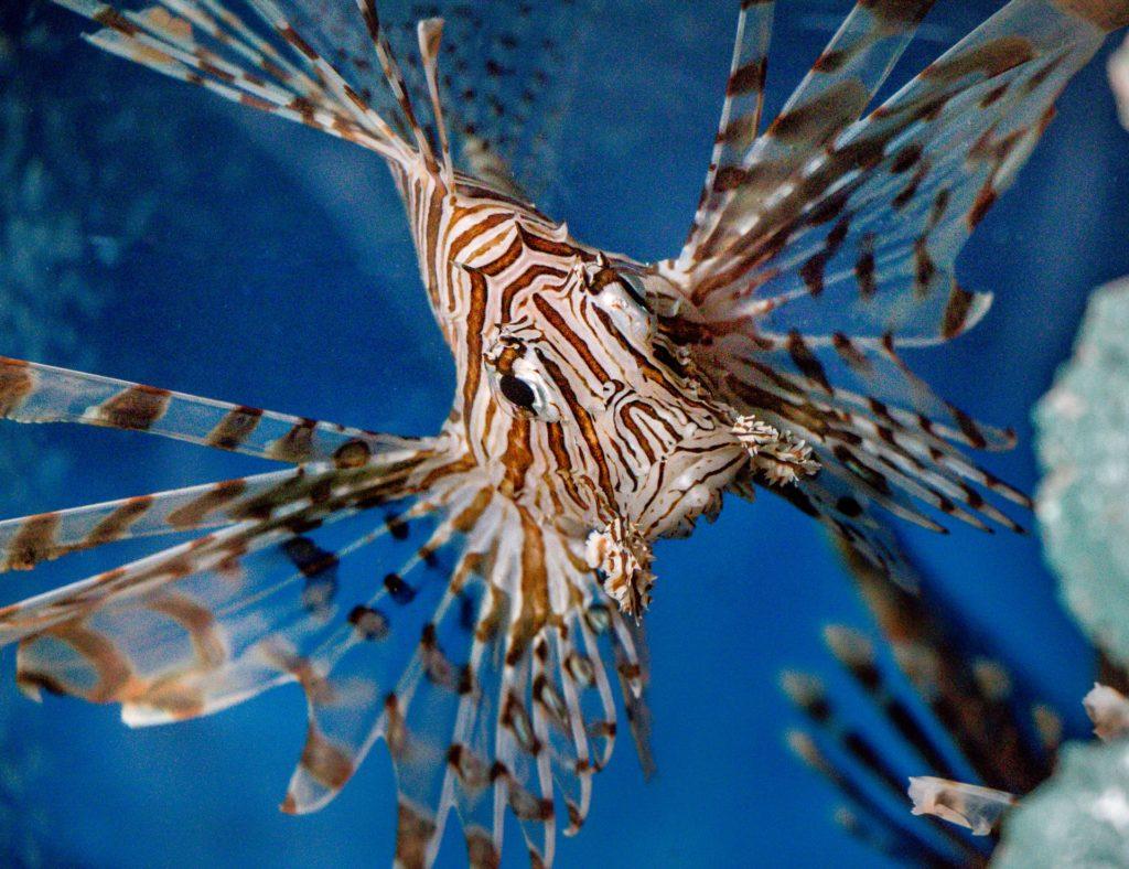 Rotfeuerfische sehen faszinierend aus – doch ihre Stacheln enthalten ein starkes Gift. Foto: Ray Harrington / Unsplash